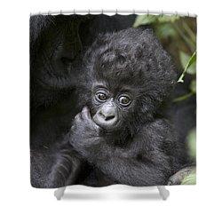 Mountain Gorilla 3 Month Old Infant Shower Curtain by Suzi Eszterhas
