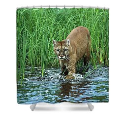 Mountain Lion Puma Concolor Wading Shower Curtain by Konrad Wothe
