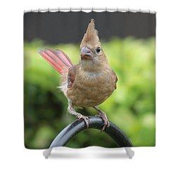 Mrs Cardinal Shower Curtain by Carol Groenen