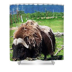 Musk Oxen Shower Curtain by Aimee L Maher Photography and Art Visit ALMGallerydotcom