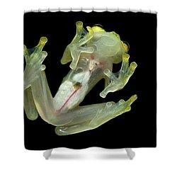 Northern Glassfrog Hyalinobatrachium Shower Curtain by Thomas Marent