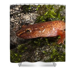 Northern Spring Salamander Gyrinophilus Shower Curtain by Pete Oxford