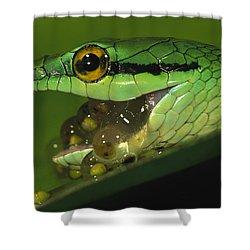 Parrot Snake Eating Tree Frog Eggs Shower Curtain by Christian Ziegler