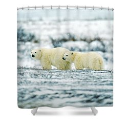 Polar Bears, Churchill, Manitoba Shower Curtain by Mike Grandmailson