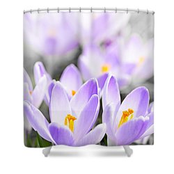 Purple Crocus Blossoms Shower Curtain by Elena Elisseeva