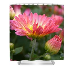 Rainbow Mums Shower Curtain by Living Color Photography Lorraine Lynch
