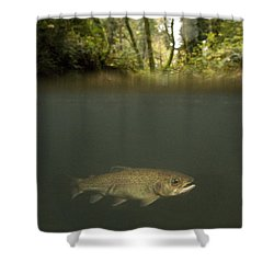 Rainbow Trout In Creek In Mixed Coast Shower Curtain by Sebastian Kennerknecht