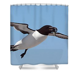 Razorbill In Flight Shower Curtain by Bruce J Robinson