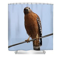 Red-shouldered Hawk . 7d10254 Shower Curtain by Wingsdomain Art and Photography