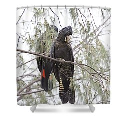 Red Tailed Black Cockatoos Shower Curtain by Douglas Barnard