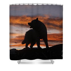 Samoyed At Sunset Shower Curtain by Kent Dannen and Photo Researchers
