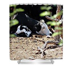 Sleepy Arizona Cows Shower Curtain by Methune Hively