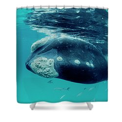Southern Right Whale Eubalaena Shower Curtain by Mike Parry