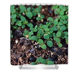 St. Johns Wort Shower Curtain by Science Source