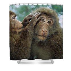Tibetan Macaque Macaca Thibetana One Shower Curtain by Cyril Ruoso