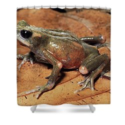 Toad Atelopus Senex On A Leaf Shower Curtain by Michael & Patricia Fogden