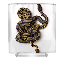 Two Ball Python Snakes Intertwined Shower Curtain by Corey Hochachka