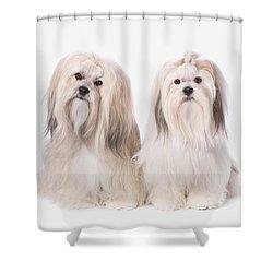 Two White Lhasa Apso Puppies St. Albert Shower Curtain by Corey Hochachka