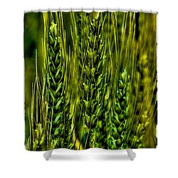 Unripened Wheat Shower Curtain by David Patterson