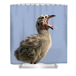 Western Gull Chick Begging For Food Shower Curtain by Sebastian Kennerknecht