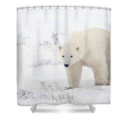 Young Polar Bear Ursus Maritimus Walks Shower Curtain by Richard Wear