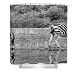 Zebras Shower Curtain by Lynn Bolt