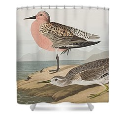 Red-breasted Sandpiper  Shower Curtain by John James Audubon