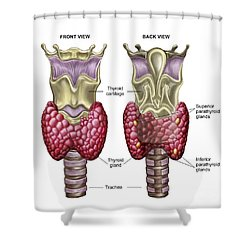 Anatomy Of Thyroid Gland With Larynx & Shower Curtain by Stocktrek Images