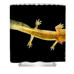 California Giant Salamander Larva Shower Curtain by Dant� Fenolio