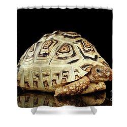Closeup Leopard Tortoise Albino,stigmochelys Pardalis Turtle With White Shell On Isolated Black Back Shower Curtain by Sergey Taran