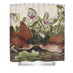 Key West Dove Shower Curtain by John James Audubon