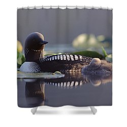Pacific Loon Gavia Pacifica Parent Shower Curtain by Michael Quinton