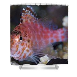 Pixy Hawkfish, Kimbe Bay, Papua New Shower Curtain by Steve Jones