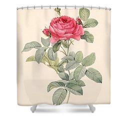 Rosa Gallica Pontiana Shower Curtain by Pierre Joseph Redoute