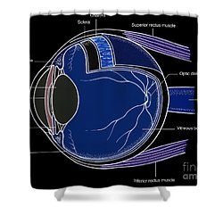 Illustration Of Eye Anatomy Shower Curtain by Science Source