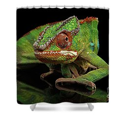 Sneaking Panther Chameleon, Reptile With Colorful Body On Black Mirror, Isolated Background Shower Curtain by Sergey Taran