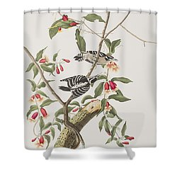 Downy Woodpecker Shower Curtain by John James Audubon