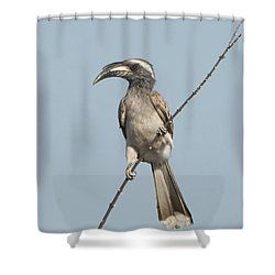 African Grey Hornbill Tockus Nasutus Shower Curtain by Panoramic Images