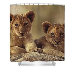 African Lion Cubs Resting On A Rock Shower Curtain by Tim Fitzharris