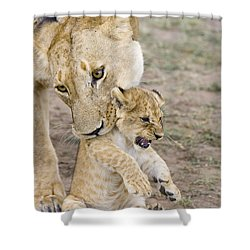 African Lion Mother Picking Up Cub Shower Curtain by Suzi Eszterhas