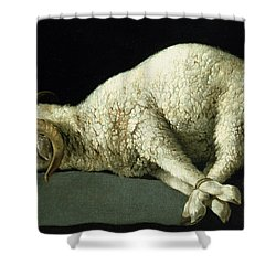Agnus Dei Shower Curtain by Francisco de Zurbaran