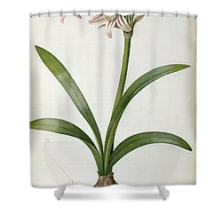 Amaryllis Vittata Shower Curtain by Pierre Redoute