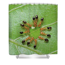 Ant Monomorium Intrudens Group Drinking Shower Curtain by Takashi Shinkai