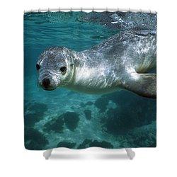 Australian Sea Lion Neophoca Cinerea Shower Curtain by Hiroya Minakuchi