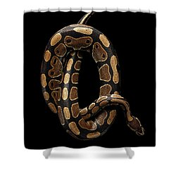 Ball Or Royal Python Snake On Isolated Black Background Shower Curtain by Sergey Taran