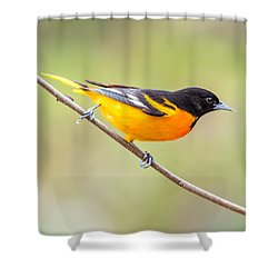 Baltimore Oriole Shower Curtain by Paul Freidlund