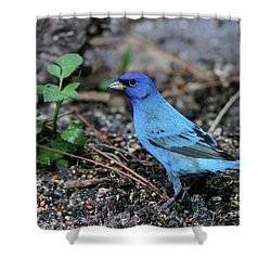 Beautiful Indigo Bunting Shower Curtain by Sabrina L Ryan