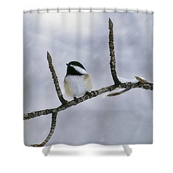 Black-capped Chickadee, Alberta Shower Curtain by Darwin Wiggett