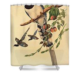 Blue Magpie, Urocissa Magnirostris Shower Curtain by John Gould