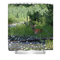 Buck In Pond Shower Curtain by Karol Livote